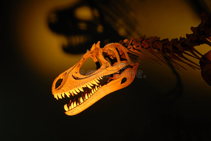 Dinosaur Skeleton. Photo of a dinosaur skeleton royalty free stock photography