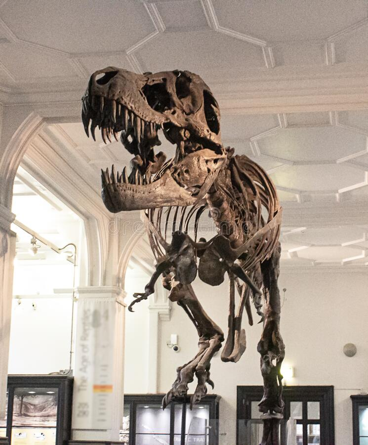 A dinosaur skeleton in the national museum in england. Dinosaur skeleton in the national museum in england royalty free stock photos
