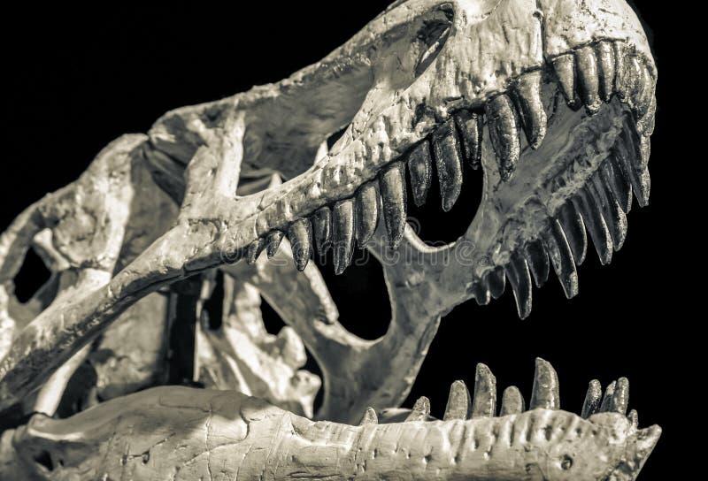 Dinosaur skull with big teeth. Dinosaur skull - Taubosaurus bataar with open mouth on black background royalty free stock photos