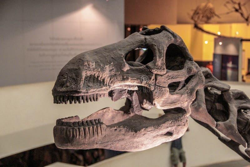 Dinosaur skull. Close up dinosaur skull in museum stock photo