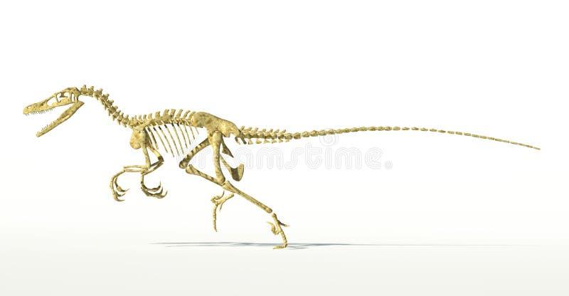 Dinosaure de Velociraptor, plein squelette scientifiquement correct, vue de côté. illustration libre de droits