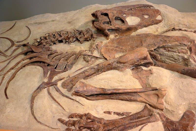 Dinosaurio Skelleton del Albertosaurus en el museo, parque provincial del dinosaurio, Alberta imágenes de archivo libres de regalías
