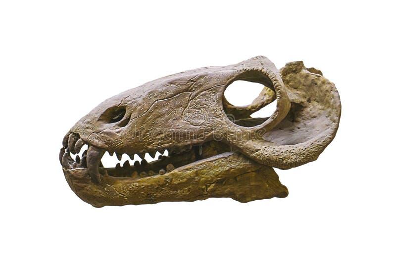 Dinosaurusschedel op wit wordt geïsoleerd dat stock foto