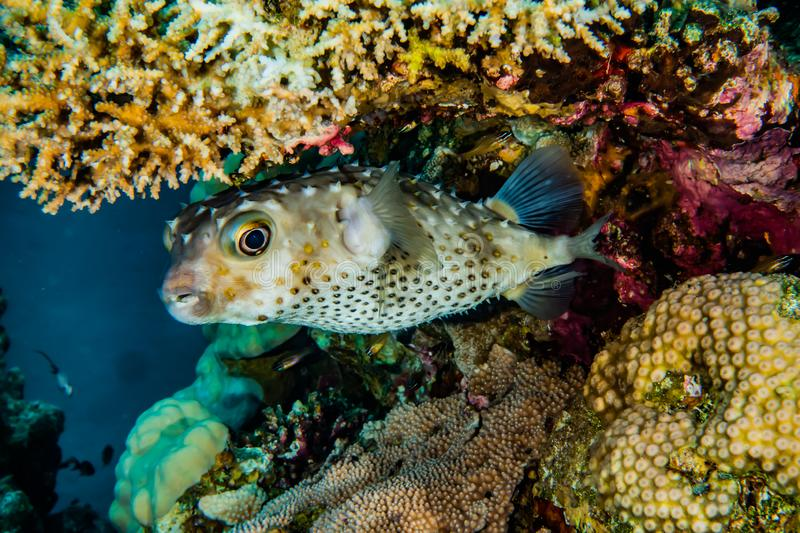 Diodon fish in the Red Sea Colorful and beautiful royalty free stock image