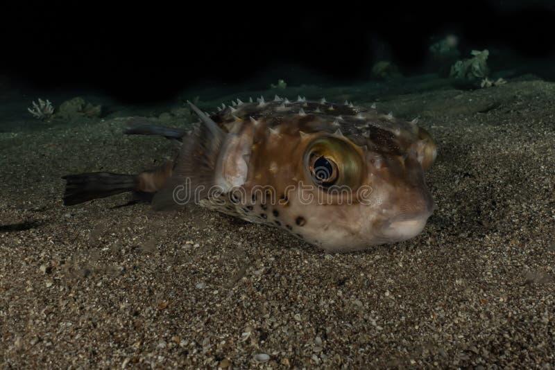 Diodonfisk i R?da havet royaltyfria bilder