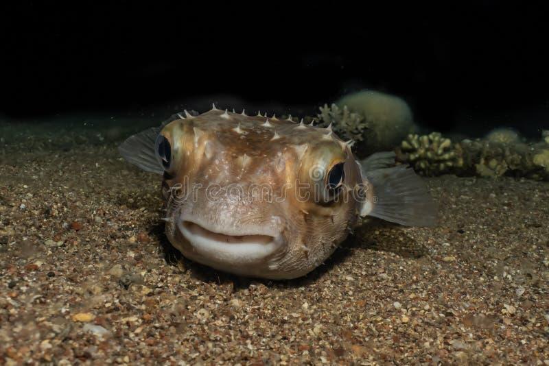 Diodonfisk i R?da havet royaltyfri bild