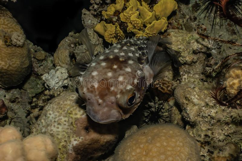 Diodonfisk i R?da havet arkivfoton
