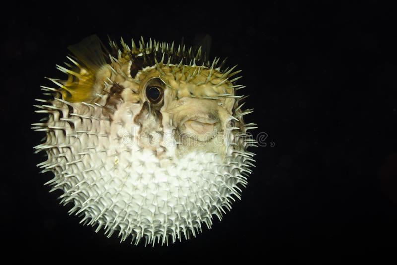 Diodontidae, Porcupinefish или Blowfish стоковые фото