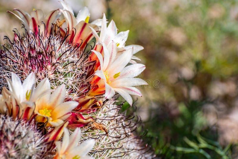 Dioica маммиллярии также вызвало кактус кактуса клубники, рыболовного крючка Калифорния, pincushion клубники или кактус рыболовно стоковые изображения