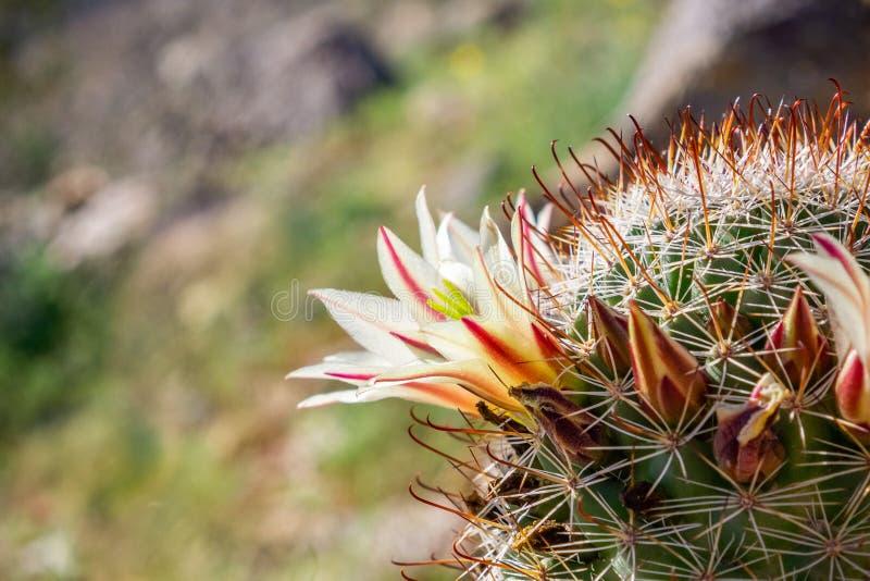 Dioica маммиллярии также вызвало кактус кактуса клубники, рыболовного крючка Калифорния, pincushion клубники или кактус рыболовно стоковое фото
