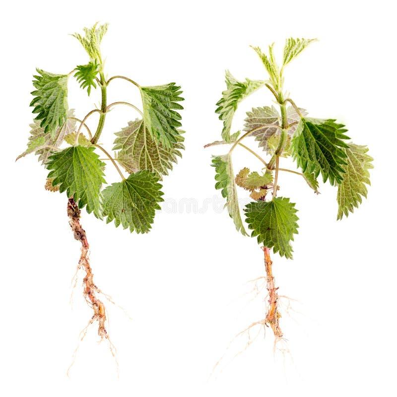 dioica denerwującej pokrzywowej rośliny parzący urtica dziki obrazy stock