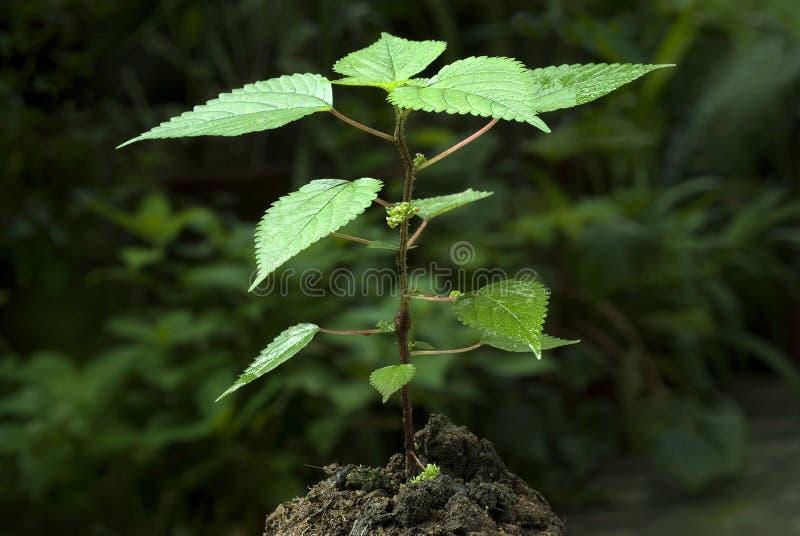 Dioica do Urtica da planta da provocação pungente foto de stock