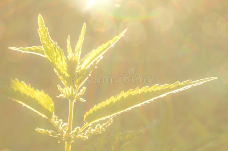 Dioica Urtica στο ηλιοβασίλεμα στοκ εικόνες