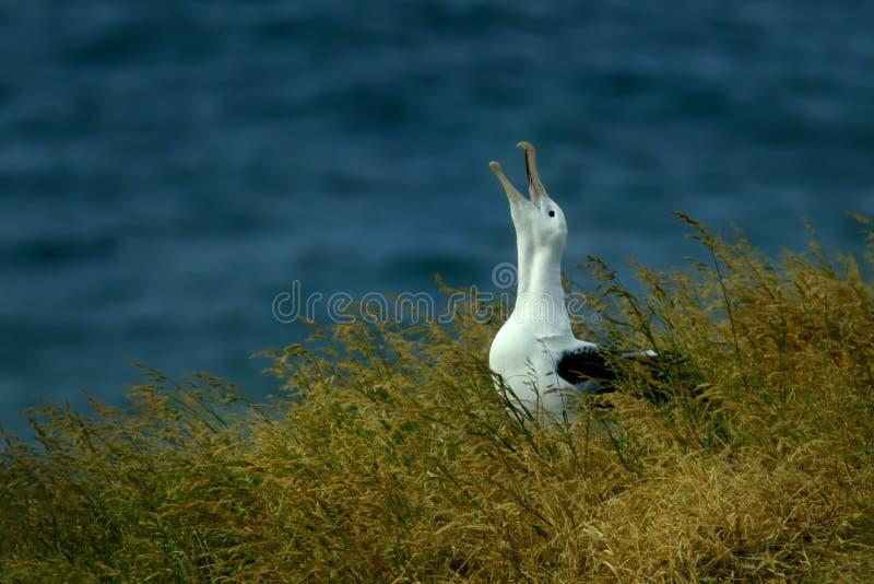 Diomedea sanfordi - nordlig kunglig Albatros gråt på hans rede i Nya Zeeland nära den Otago halvön, royaltyfria bilder
