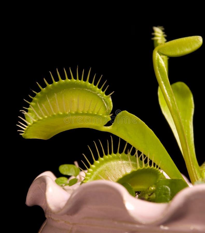Dionaea stock foto's