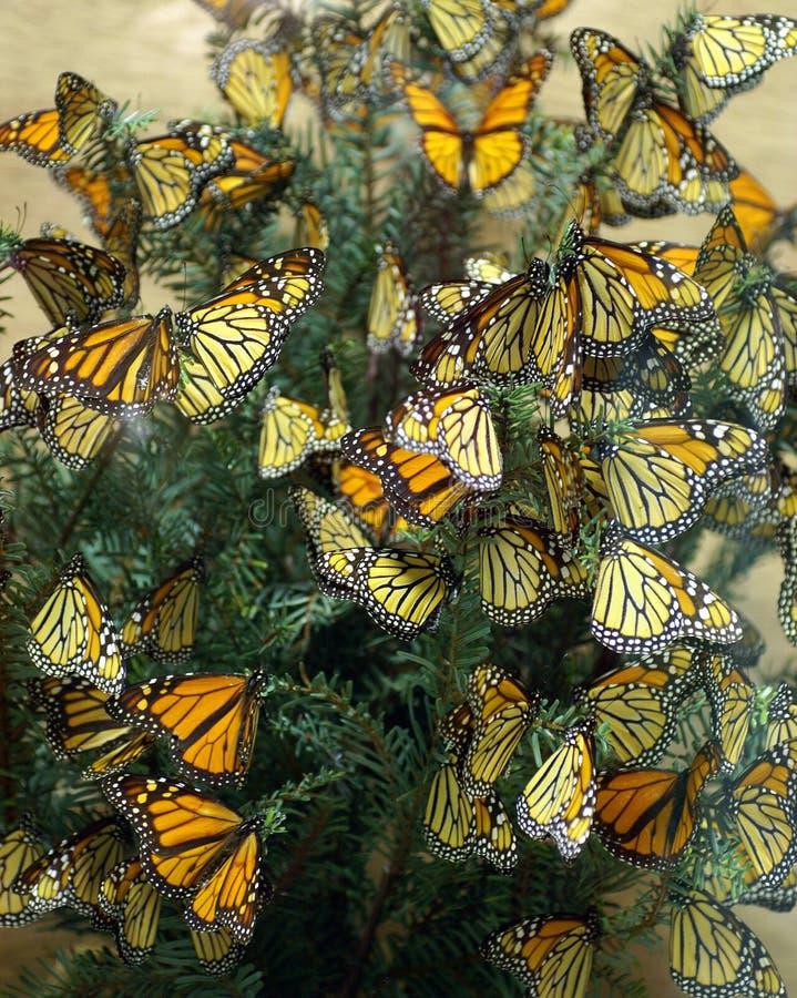 Diorama das borboletas de monarca fotos de stock royalty free