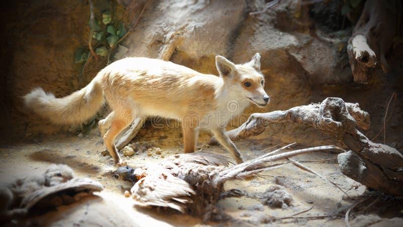 Diorama de Fox images stock