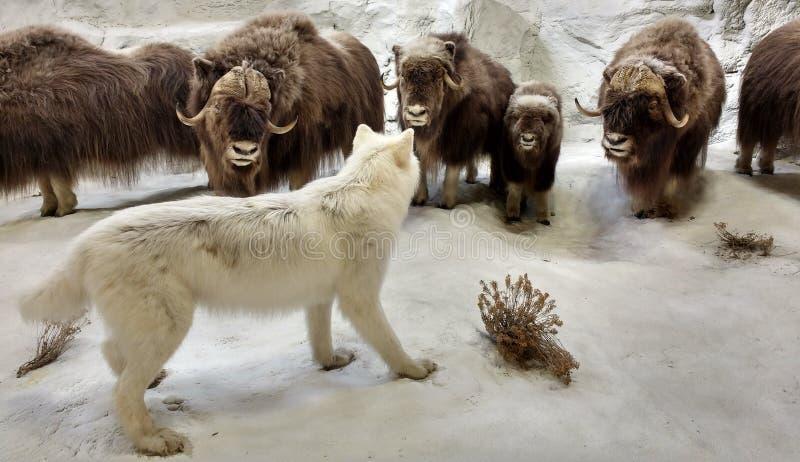 Diorama que ofrece fauna en una escena ártica foto de archivo