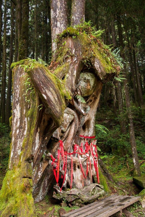 Dios virginal del árbol forestal de Alishan fotografía de archivo