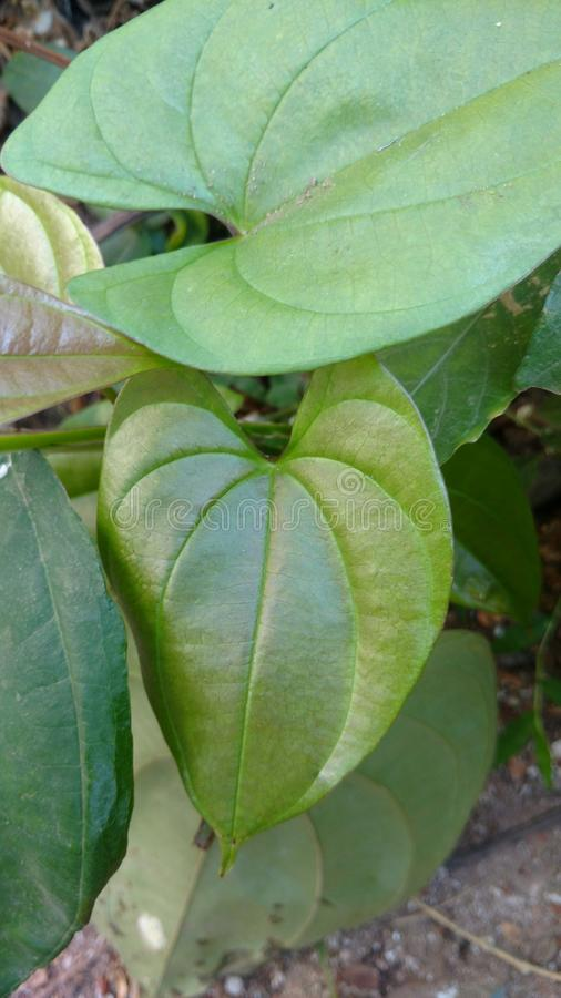 Dioscorea alata. Also called as Guyana arrowroot or yam stock photo