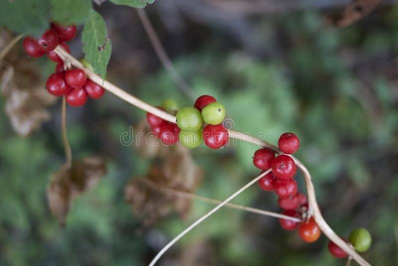 Fruit close up of Dioscorea communis royalty free stock photos