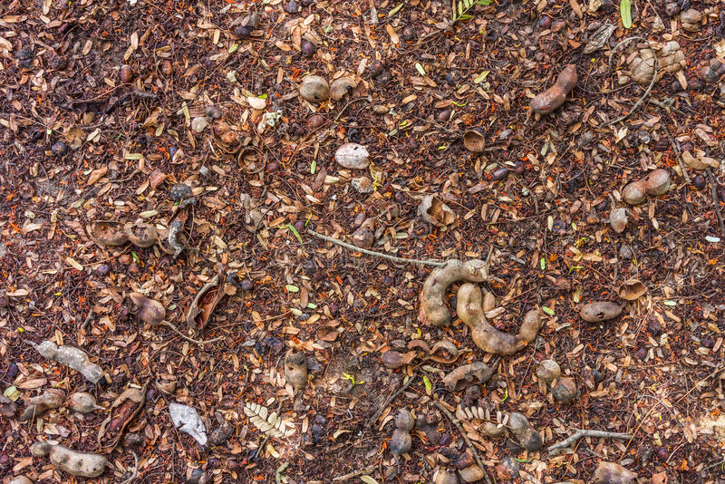Diospyros and tamarind fruits on a ground royalty free stock photos