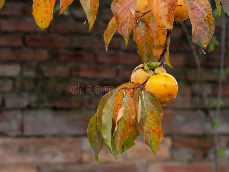 Diospyroskakiträd med mogna ljusa orange frukter i höst - persimon arkivfoto