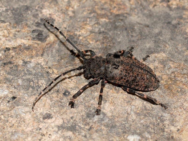 Diphysis di Moechotypa dello scarabeo della mucca texana (dalle lunghe corna, scarabei della mucca texana, longicorns) fotografia stock
