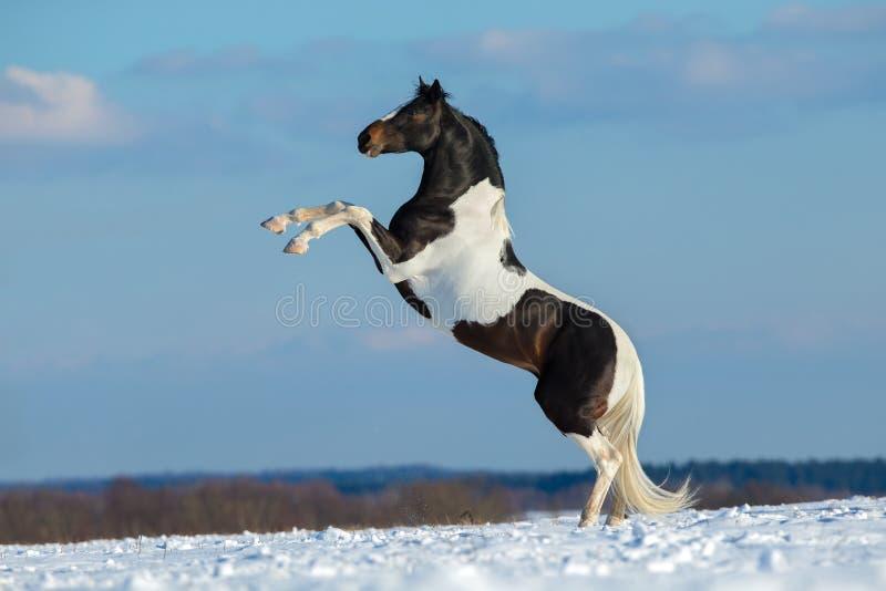 Dipinga il cavallo stanno su sul fondo dell'inverno fotografia stock libera da diritti