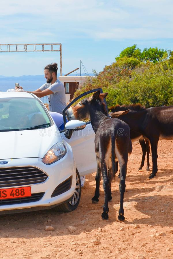 Dipkarpaz, Turkish Northern Cyprus - Oct 3rd 2018: Young happy man standing by opened car together with several wild donkeys. The stock images