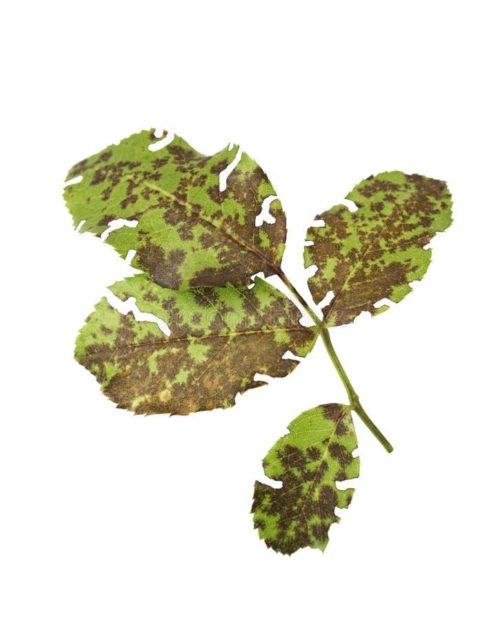 Diplocarpon rosae - Czarny punkt powodować grzybem na róży roślinie obraz stock
