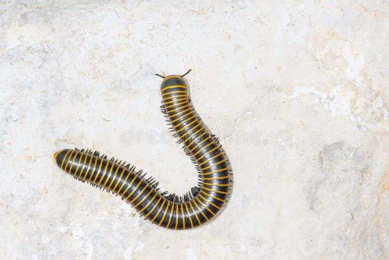 Download Diplopod foto de archivo. Imagen de insectos, salvaje - 41919278