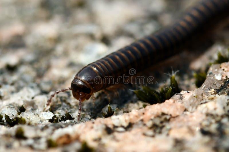 Diplopoda na Suécia imagem de stock