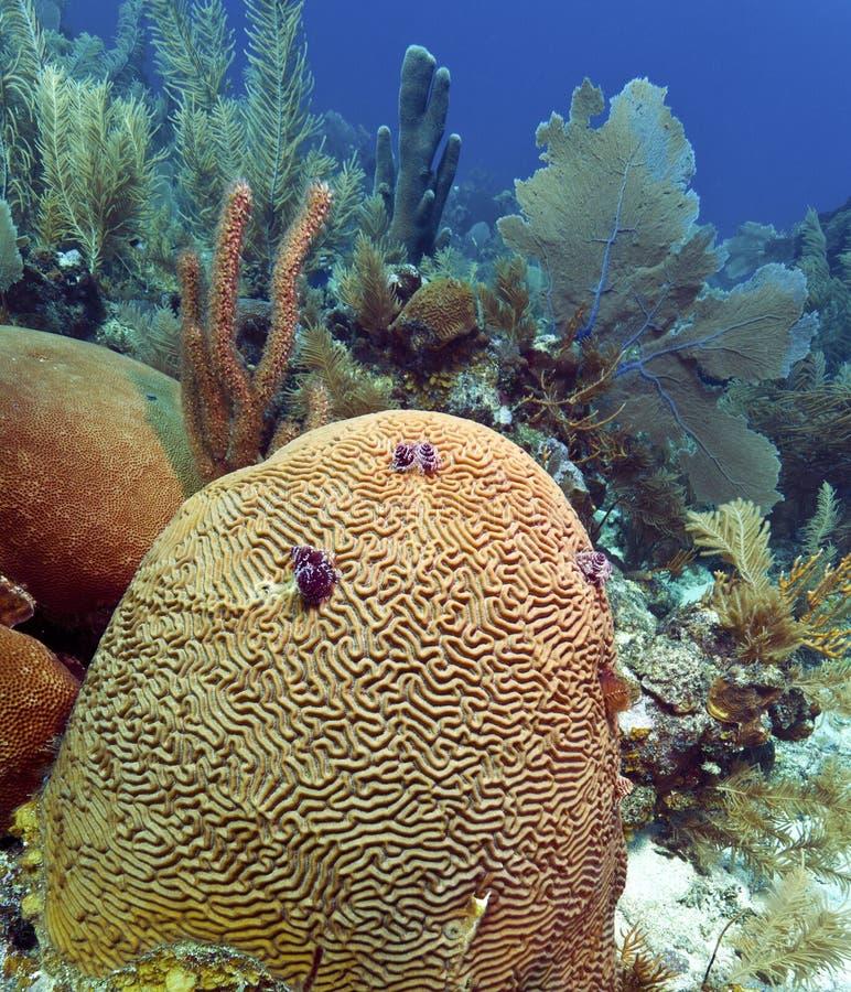 Free Diploria Labyrinthiformis - Groved Brain Coral Royalty Free Stock Photo - 22809915