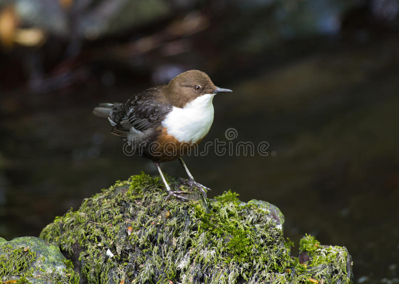 Dipper royalty free stock photos