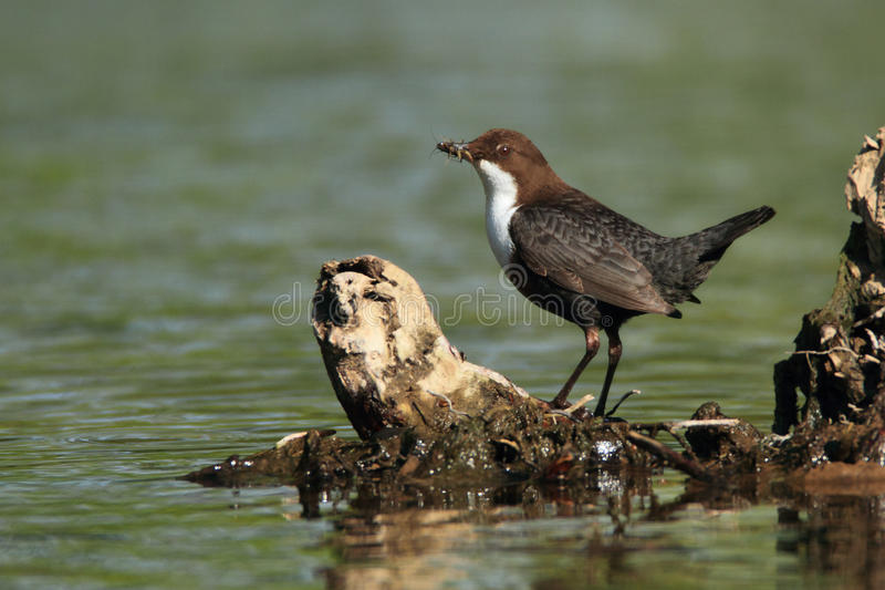 Dipper royalty free stock photography