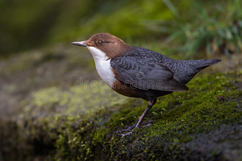 Dipper (Cinclus cinclus). A Dipper (Cinclus cinclus) standing on a moss covered rock royalty free stock photo