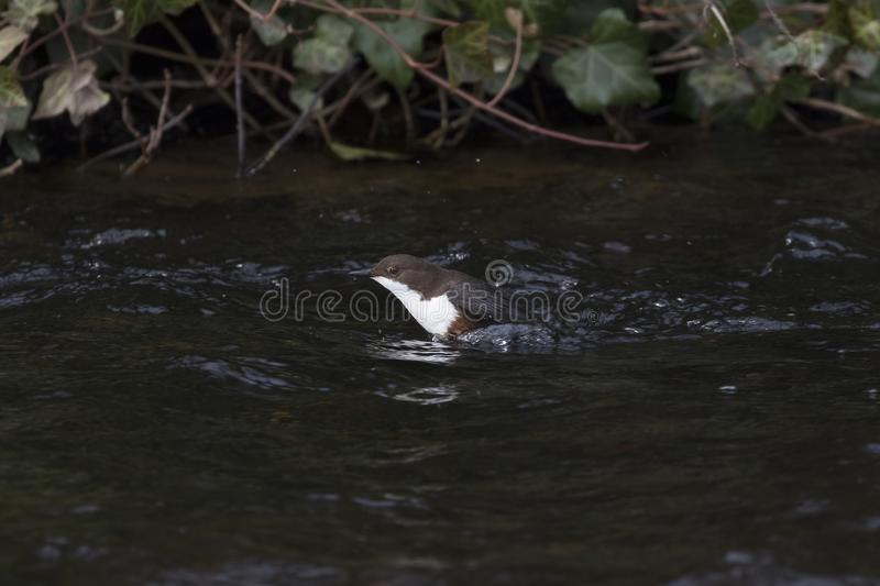 Dipper, cinclus, swimming, bathing in the river lossie. Dipper, cinclus, swimming and bathing in the river lossie, elgin, moray, scotland stock images