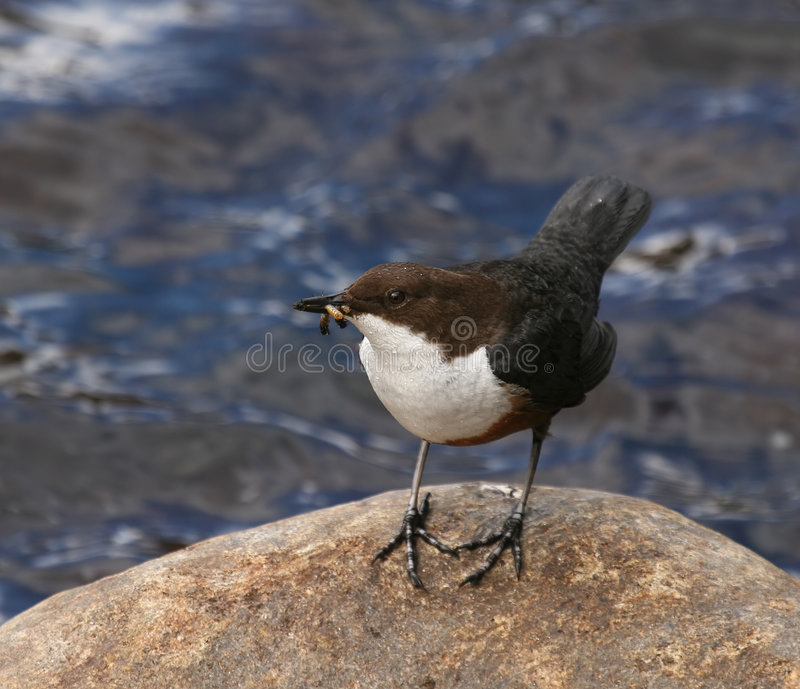 Dipper on Rock by River in Scotland. (White-throated) Dipper (Cinclus cinclus) pictured on smooth rock by fast-flowing river with food for young, taken in the stock photography