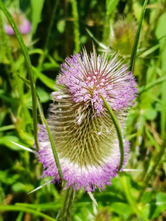 Dipsacum-Kardenblume in Coriano, Emilia Romagna-Landschaft, Italien lizenzfreie stockfotos