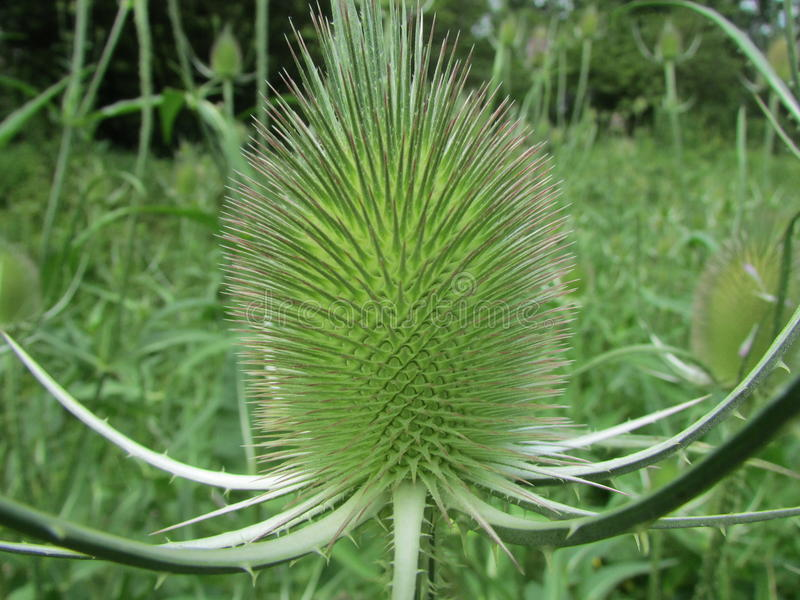 Dipsacus in close-up stock photo