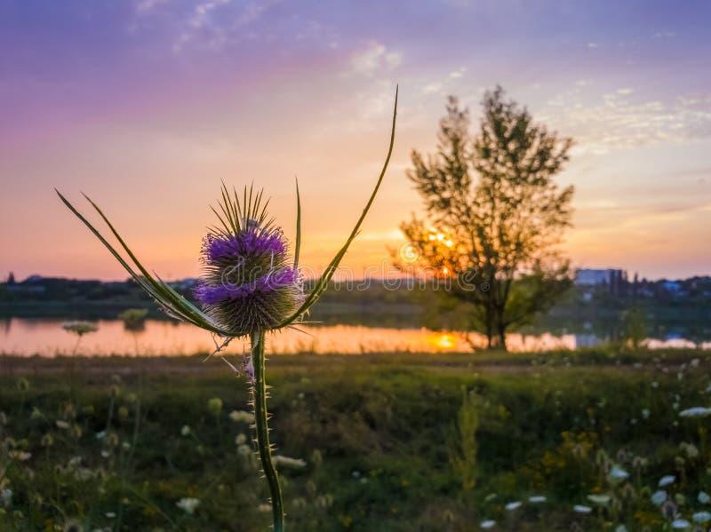 Dipsacusfullonum för lös kardtistel som blommar på en sommaräng över solnedgånghimmelbakgrund Purpurfärgat frö blommar på taggflo arkivbild