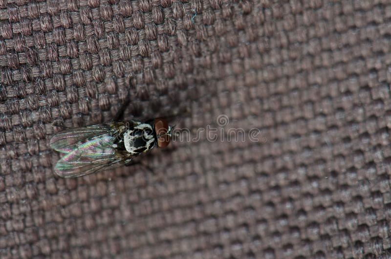 Diptera. Diptera Hylemyia latevittata. Guayadeque ravine. Aguimes. Gran Canaria. Canary Islands. Spain stock photos