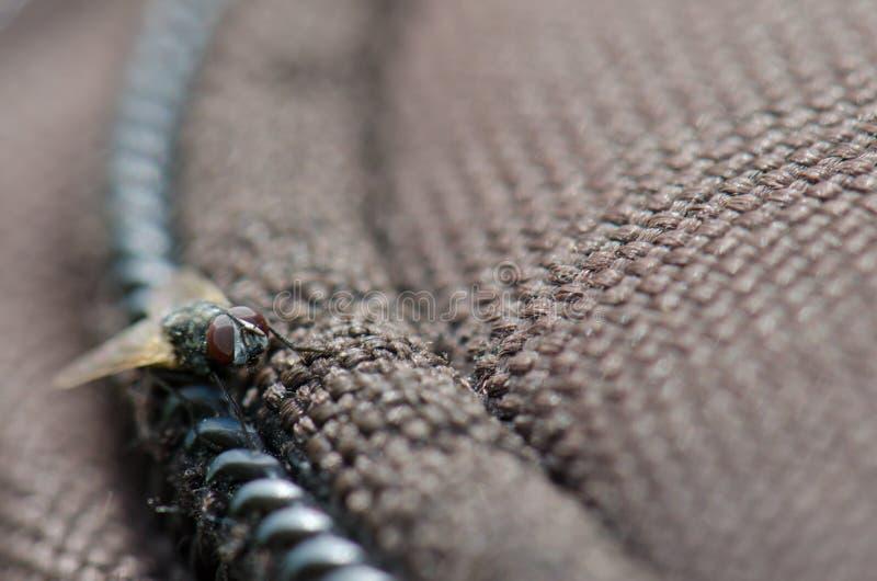 Diptera. Diptera Hylemyia latevittata. Guayadeque ravine. Aguimes. Gran Canaria. Canary Islands. Spain royalty free stock photography