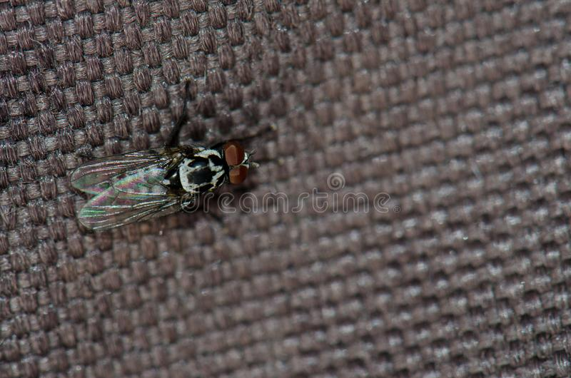 Diptera. Diptera Hylemyia latevittata. Guayadeque ravine. Aguimes. Gran Canaria. Canary Islands. Spain royalty free stock image