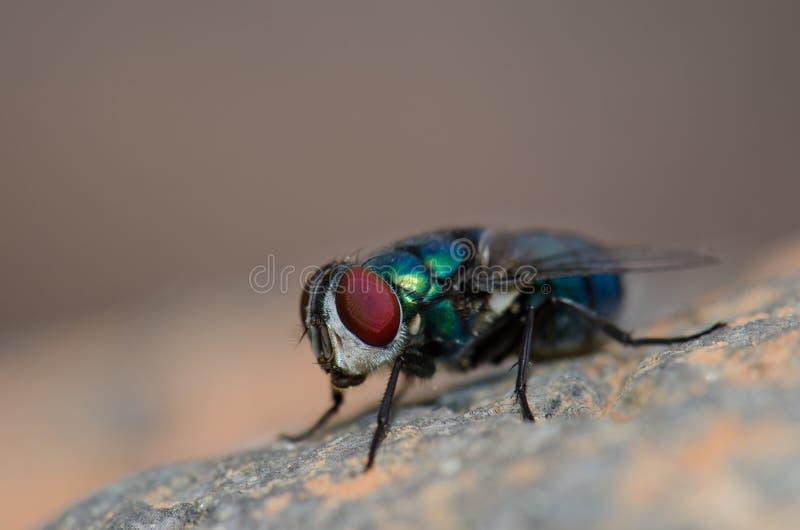 Diptera. Diptera Lucilia sericata. Guayadeque ravine. Aguimes. Gran Canaria. Canary Islands. Spain stock photos