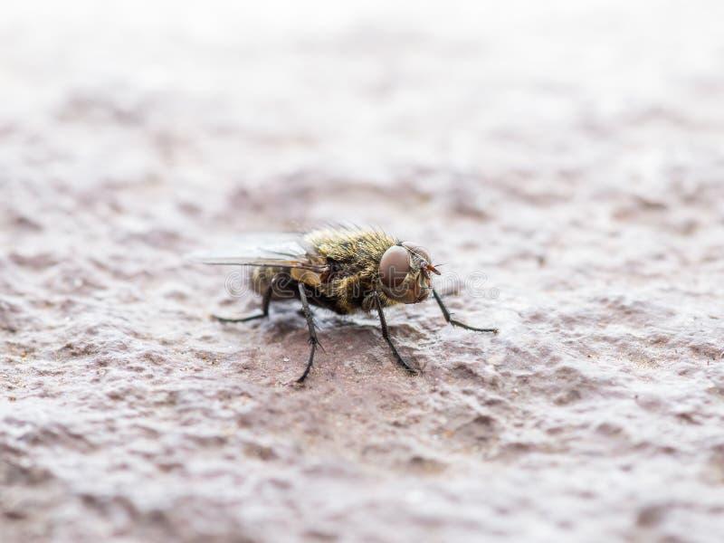 Diptera-Fleisch-Fliegen-Insekt auf Felsen lizenzfreies stockbild