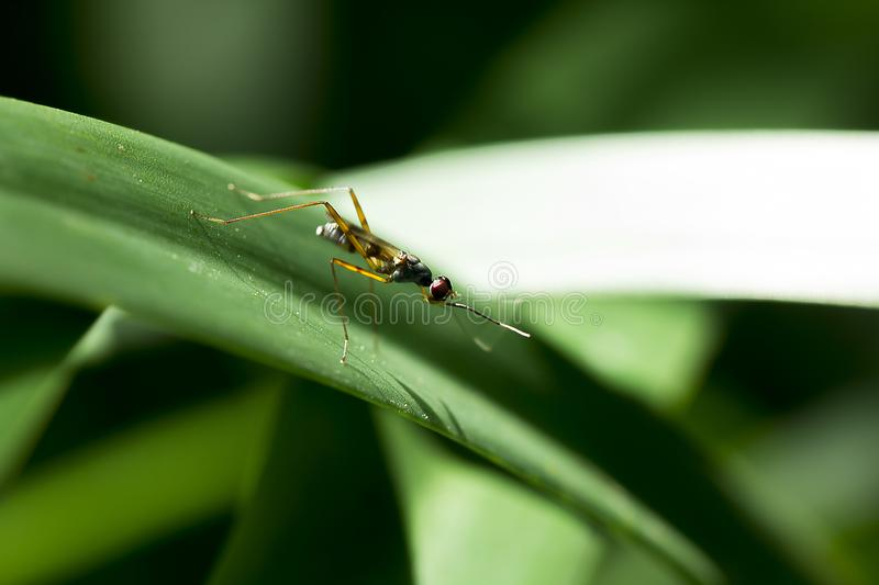 Diptera is on the leaf. Diptera small size, the body is yellow on the leaves in nature stock images