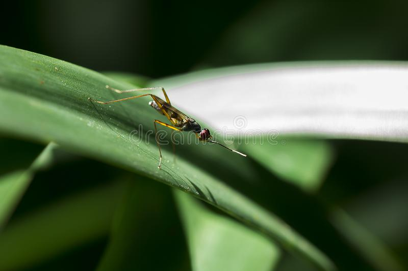 Diptera is on the leaf. Diptera small size, the body is yellow on the leaves in nature stock photography