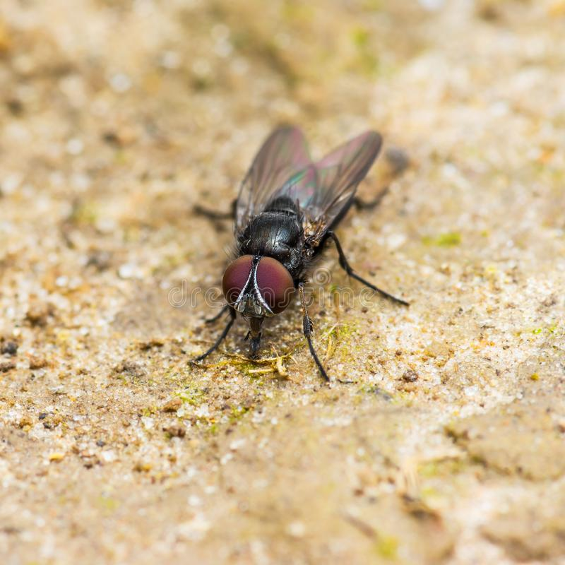 Diptera Meat Fly Insect On Ground. Macro Photo stock image